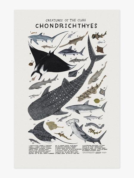 Kelsey Oseid Shark Species Poster