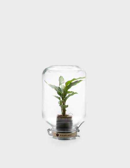 Pikaplant Jar Calathea Concinna