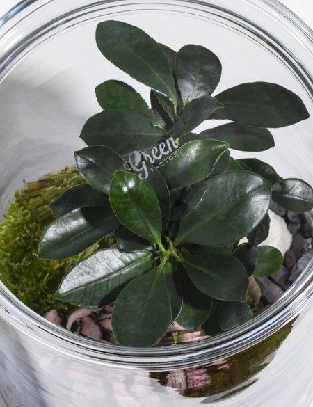 Green Factory Garden Glass - Ficus Microcarpa